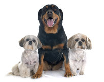 Shih Tzu and rottweiler. In front of white background Royalty Free Stock Images