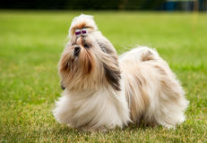 Shih Tzu running on the green grass moment Royalty Free Stock Photo