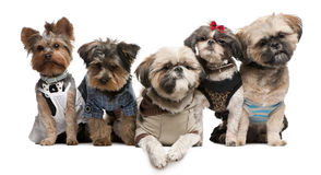 Shih Tzu's. 3 years old, 2 years old, 8 months old, and Yorkshire Terriers, 2 years old and 6 months old, dressed up and sitting in front of white background stock photo