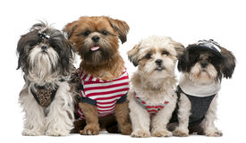 Shih Tzu's royalty free stock photography