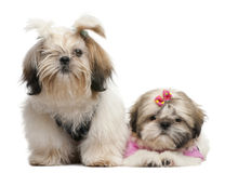 Shih Tzu's, 7 months old and 3 months old Stock Photo