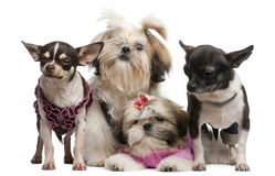 Free Shih Tzu S, 7 Months Old, 3 Months Old Stock Photo - 16821930