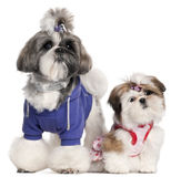 Shih Tzu's dressed up Royalty Free Stock Photo
