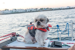 Shih-tzu sailor. Shih-tzu puppy in a life jacket aboard of a yacht royalty free stock images