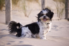 Shih Tzu in the sand. A black and white Shih Tzu on the beach Royalty Free Stock Photography
