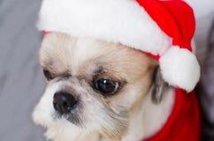 Shih Tzu Santa lizenzfreies stockbild