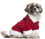 Shih Tzu in Santa outfit, 7 months old, sitting Royalty Free Stock Images