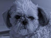 Shih Tzu-Schwarzweiss-Porträt stockfoto