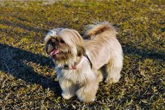 A Shih Tzu stock images