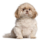 Shih Tzu sitting Royalty Free Stock Image