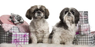 Shih Tzu sitting with Christmas gifts Royalty Free Stock Photo