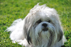 Shih tzu sitting on grass Stock Photos