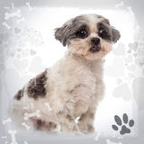 Shih tzu sitting, looking at the camera Stock Image
