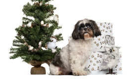 Shih Tzu sitting next to a Christmas tree and presents Stock Image