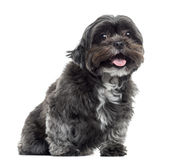 Shih tzu sitting and panting, isolated Royalty Free Stock Photography