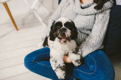 Shih Tzu sitting with people, a dog and a family,. Hands hugging a dog Royalty Free Stock Image