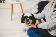 Shih Tzu sitting with people, a dog and a family,. Hands hugging a dog Royalty Free Stock Photography