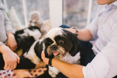 Shih Tzu sitting with people, a dog and a family,. Hands hugging a dog Stock Photography
