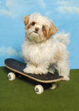 Shih Tzu on Skateboard Stock Image