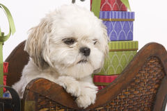 Shih tzu in a sleigh Royalty Free Stock Photography