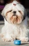 Shih tzu. Small dog animal portrait closeup royalty free stock images