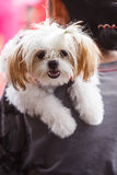 Shih Tzu. Is a small dog on his own stock image