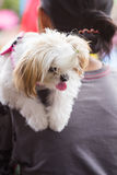 Shih Tzu. Is a small dog on his own stock photo