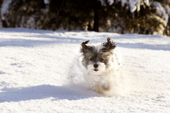 Shih-tzu in the snow. White furrry Shih-tzu mix dog jumping through a heavy snow with ears sticking up in the air and a fun and happy expression royalty free stock image