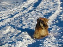 Shih Tzu in a snow. Winter photo of Shih Tzu in a countryside Friendly dog in a field of snow stock photography