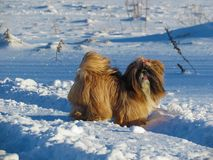 Shih Tzu in a snow. Winter photo of Shih Tzu in a countryside Friendly dog in a field of snow royalty free stock photo