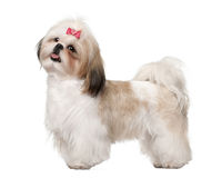 Shih Tzu standing Stock Images