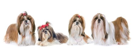 Shih Tzu in studio. Purebred Shih Tzu in front of white background stock image