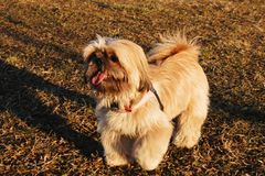 A Shih Tzu. The Shih Tzu is a sturdy little dog with a short muzzle and large dark eyes. They have a soft and long double coat. Although sometimes long, a Shih royalty free stock photography