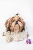 Shih-tzu szczeniaka puszysty portret - odosobniony Obraz Royalty Free