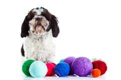 Shih tzu with threadballs on white background. Dog postcard creative royalty free stock photos