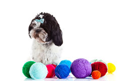 Shih tzu with threadballs on white background. Shih tzu with threadballs isolated on white background dog funny pet domestic animal different colours postcard stock photography