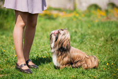 Shih Tzu Toy Dog Sit bonito no prado verde da mola Animal de estimação brincalhão Foto de Stock