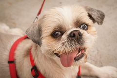 Shih tzu with Two Color Eyes Stock Photography
