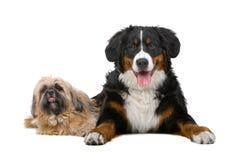 Shih tzu und ein Bernese Gebirgshund Stockfotografie