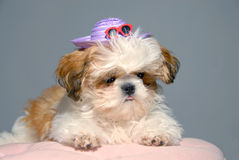 Shih Tzu Vacation Attire Royalty Free Stock Image