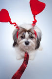 Shih tzu valentines day. Small puppy with red hearts and tie stock photo