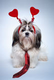 Shih tzu valentines day. Small puppy with red hearts and tie royalty free stock photography