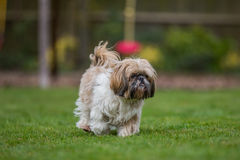 Shih tzu walking on grass Royalty Free Stock Photos