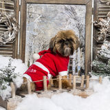 Shih tzu wearing a christmas suit sitting on a bridge Stock Image