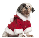 Shih Tzu wearing Santa outfit, 12 and a half Stock Image
