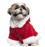 Shih Tzu wearing Santa outfit, 4 years old Royalty Free Stock Image