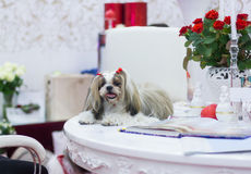 Great Shih-tzu lying at the white table. Wellgroomed Shih-tzu in interior with red roses royalty free stock images