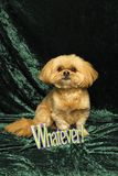 Shih Tzu and 'Whatever' Sign Royalty Free Stock Photos