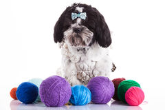 Shih tzu on a white background Royalty Free Stock Images