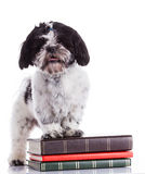 Shih tzu on a white background Royalty Free Stock Image